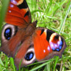 Jigsaw: Flapping Butterfly