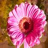 Jigsaw: Pink Peddles