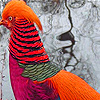 Red Pheasants Puzzle