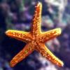 Jigsaw: Star Fish